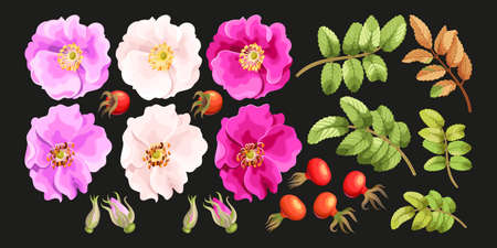 buds: Vector set of sweet briar flowers, leaves, buds and berries Illustration