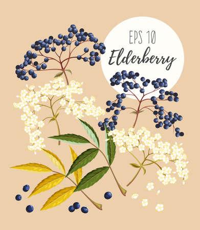 Vector set of elder flowers, berries and leaves Illustration