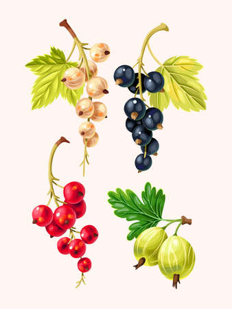 Vector set of high detailed varicolored currant berries and gooseberry