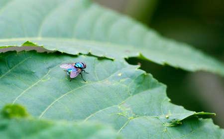 Common green bottle fly or blowfly sitting on a papaya leaf 版權商用圖片