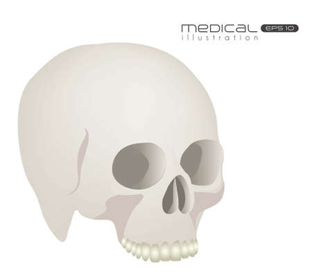 sapiens: Medical illustration skull isolated on white background, vector illustration