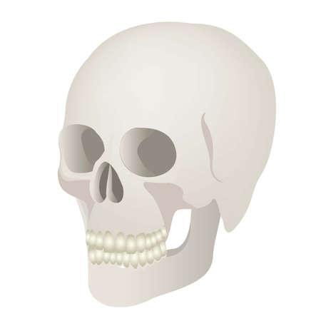 eye sockets: Medical illustration skull isolated on white background