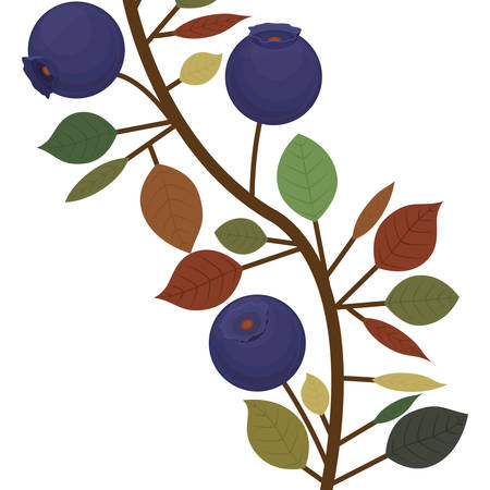 branch closeup with purple natural blueberries vector illustration