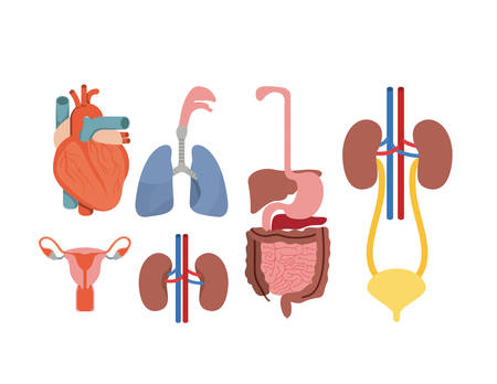 ovaries: Colorful silhouette set human body systems vector illustration Illustration