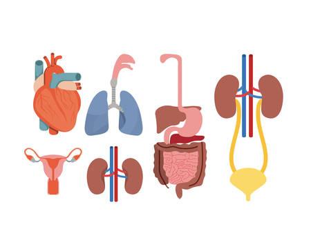 uretra: Silueta colorida conjunto ilustración de vector de sistema de cuerpo humano Vectores