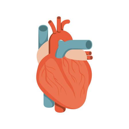 myocardium: colorful silhouette heart system human body vector illustration