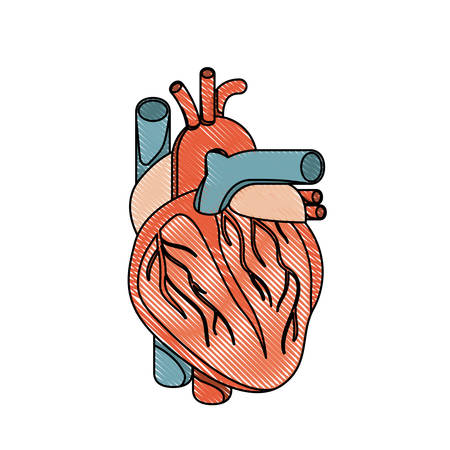 myocardium: color crayon realistic silhouette heart system human body vector illustration