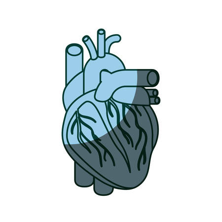 myocardium: blue color shading silhouette heart system human body vector illustration
