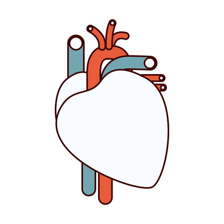 color sections contour heart system human body vector illustration
