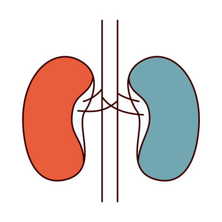 human anatomy: color sections simple silhouette renal system of human body vector illustration