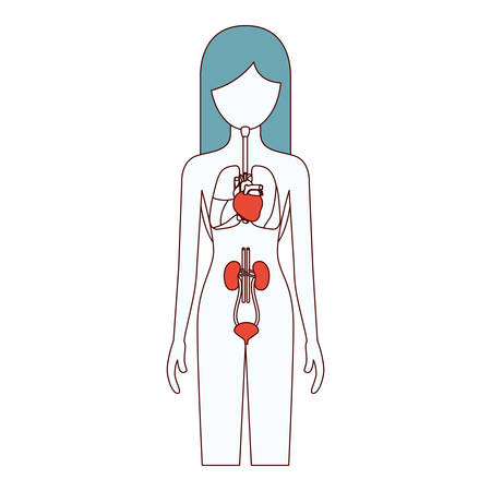 myocardium: color sections silhouette female person with respiratory and renal systems of human body vector illustration