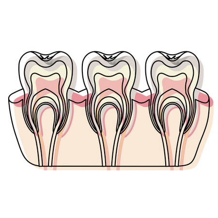 teeth with nerve and tooth root view in watercolor silhouette vector illustration Illustration