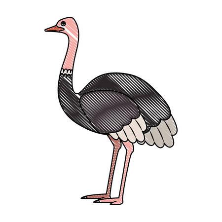 wild ostrich australian bird vector illustration design