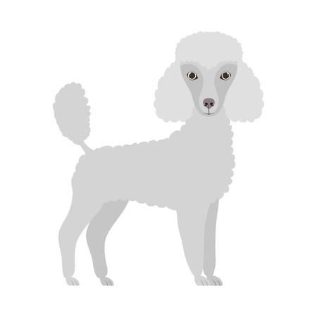 cute poodle dog on white background vector illustration design