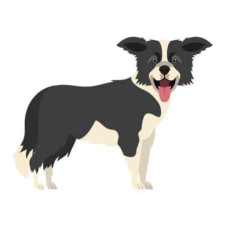 cute border collie dog on white background vector illustration design