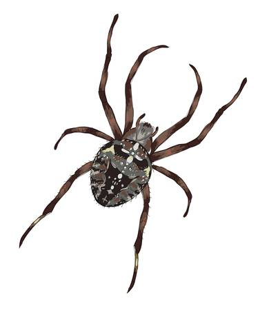 Big spider with cross-shaped drawing on a back. Vector illustration.