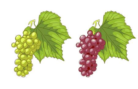 White and pink grapes. Vector illustration. Stock Vector - 15290336