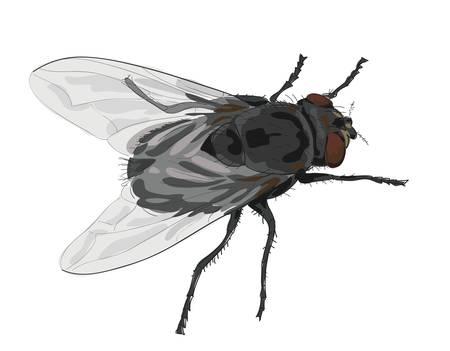 Mosca insetto isolato su sfondo bianco. Vettoriali
