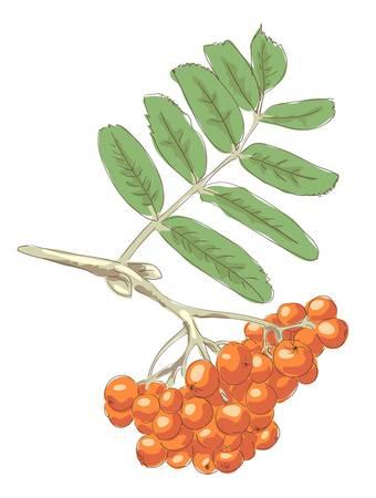 Rowan. Vector illustration. Illustration