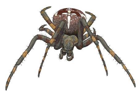 Portrait scary spider. Vector illustration. Illustration