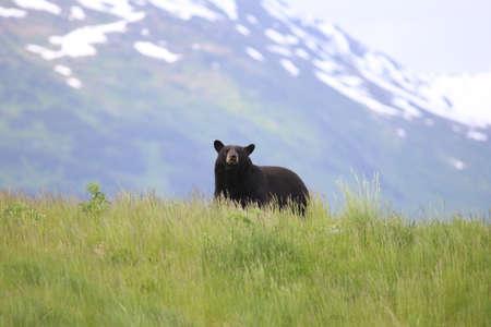 oso negro: Alaskan Black Bear