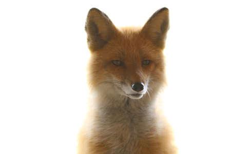 Alaskan Red Fox Stock fotó