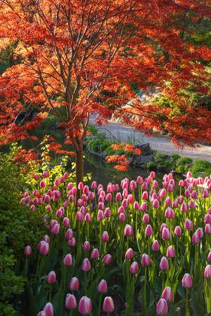 일본어 단풍 나무 밝은 빨간색 나뭇잎과 식물원에 핑크 튤립