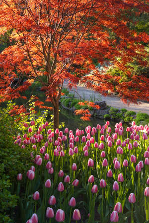 asian tulips: Japanese maple with bright red leaves and pink tulips in a botanical garden
