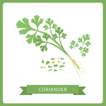 Fresh coriander or cilantro herb. Coriander or cilantro. Isolated on White. Vector.