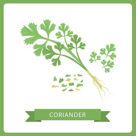 Fresh coriander or cilantro herb. Coriander or cilantro. Isolated on White. Vector. Imagens - 132823809