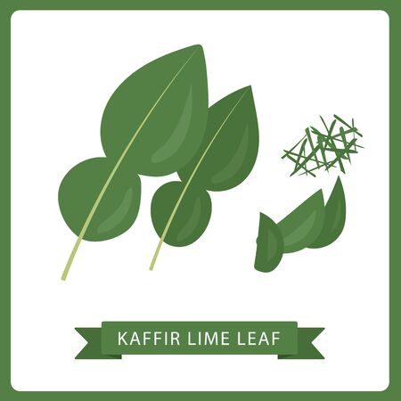 Kaffir lime leaf fresh green vector illustration. White background.