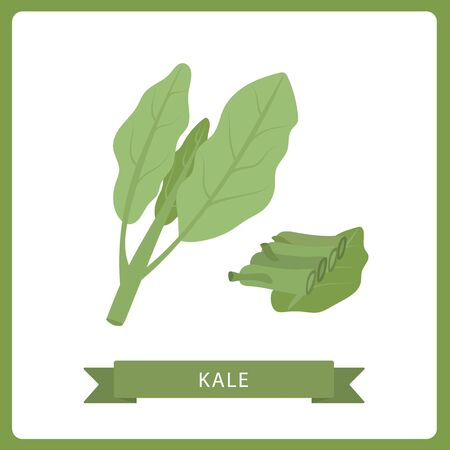Kale fresh salad leaves, healthy organic vegetarian food, vector Illustration on a white background