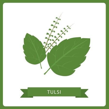 Tulsi vector in flat style. Isolated object. Superfood tulsi medical herb. Vector illustration.