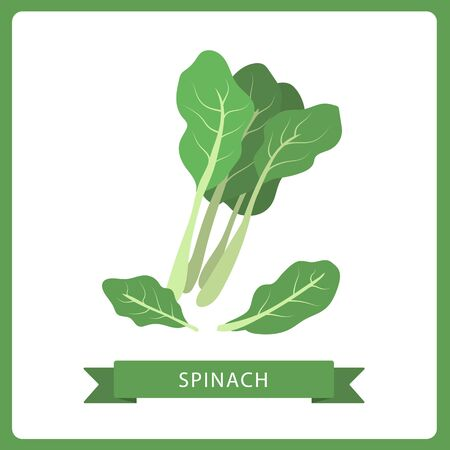 spinach leaves isolated on white. Vector illustration of fresh farm organic green herbs