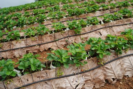 Strawberry farm Chiang Mai in Thailand Imagens - 132825212