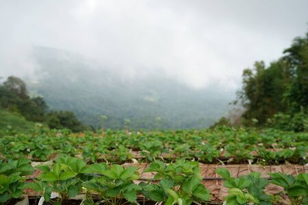 Strawberry farm Chiang Mai in Thailand