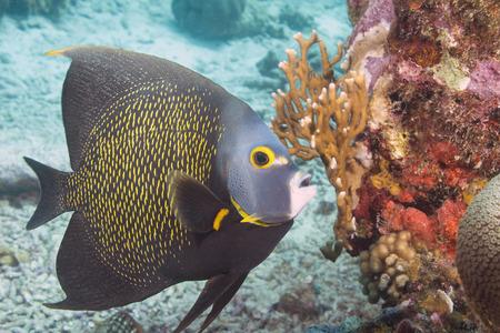 Aruba Angelfish at coral reef photo