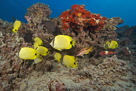 reef fish: Hawaii Butterfly Reef fish