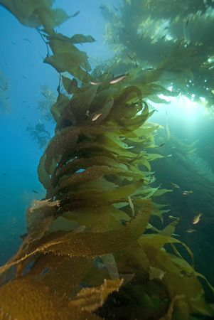 Kelp Forest at California Reef