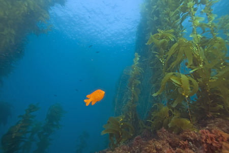 alga marina: Pez Submarino en California del bosque del quelpo Foto de archivo