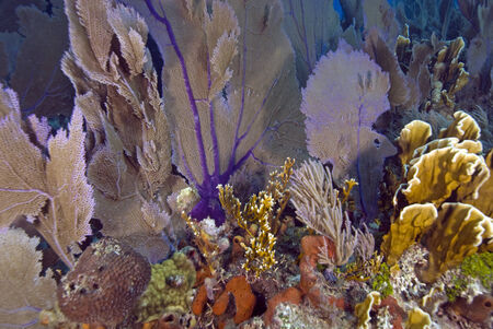 sea fans: Florida Colorful Coral Reef Sea Fans Stock Photo