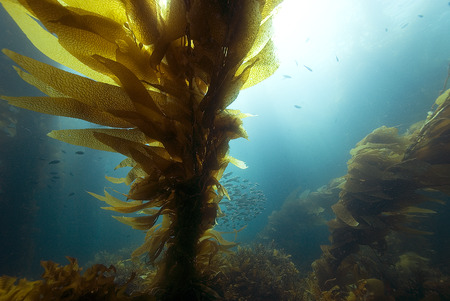 Underwater Kelp forest and Sardine Bait fish