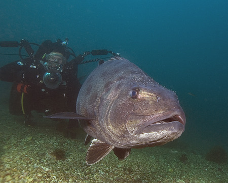 eyes cave: Giant Black Sea Bass fish underwater