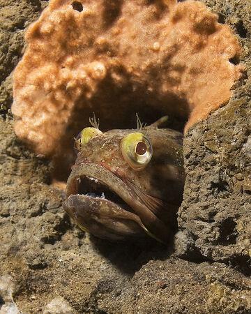 eyes cave: Sarcastic Fringehead Reef Fish at California Underwater Reef