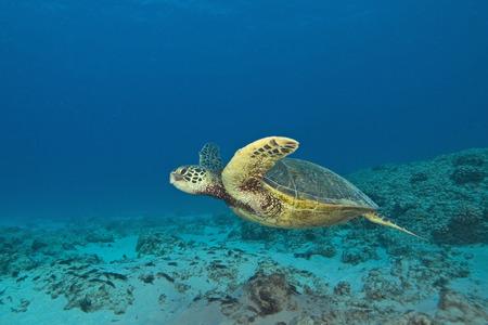 Sea Turtle at Hawaii Coral Reef