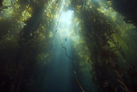 alga marina: Underwater Sun Rays en California del bosque del quelpo Foto de archivo