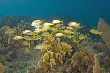 reef fish: Tropical Reef Fish at Florida Coral Reef