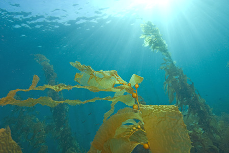 Underwater Sun Rays at California Kelp Forest