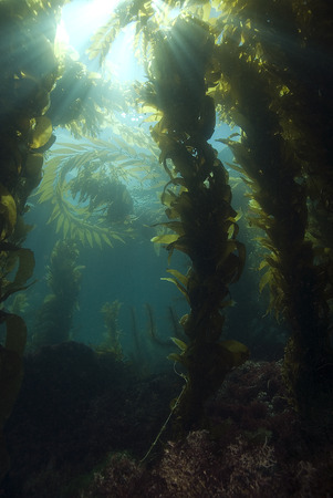 Underwater Sun Rays at California Kelp Forest photo