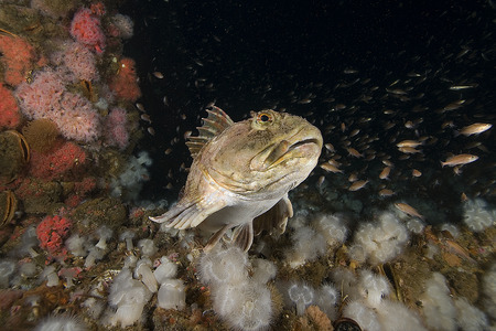 artifical: Rock fish at California Underwater Oil Rig Artifical Reef